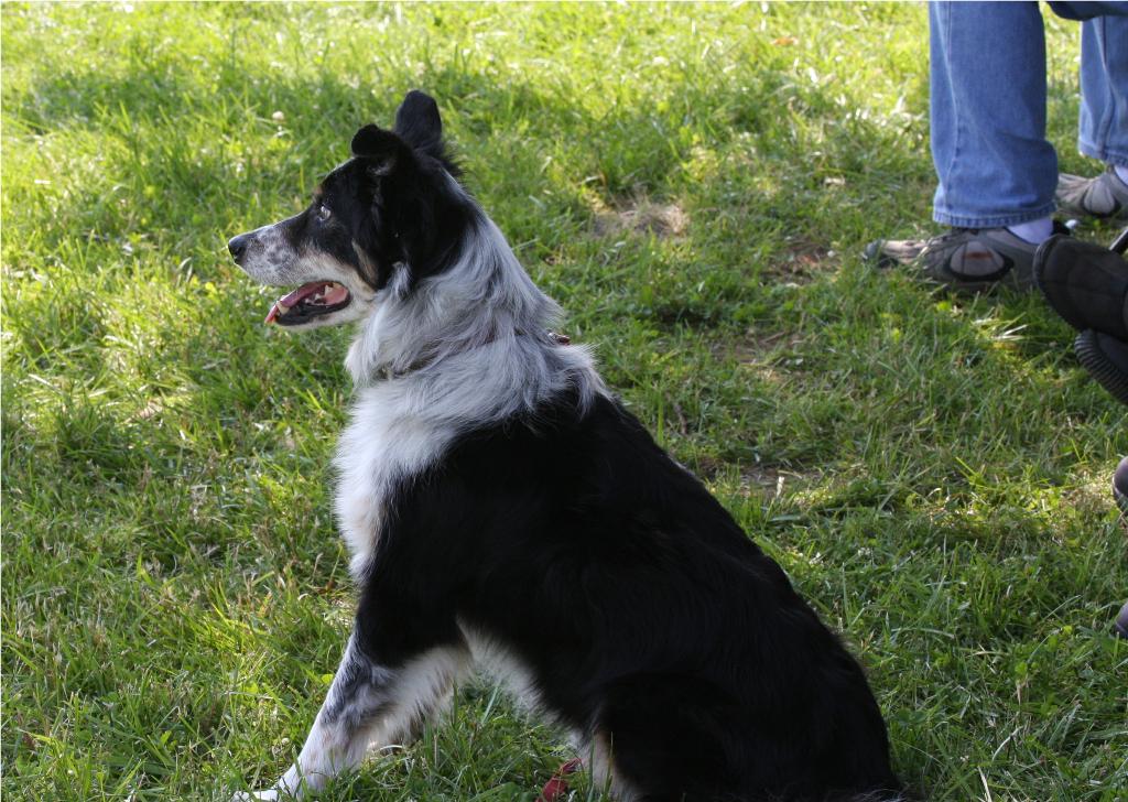 Cumberland Sheepdog Dog: Cumberland Sheepdog Field Trial Breed