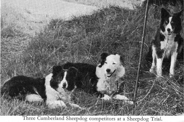 Cumberland Sheepdog Dog: Cumberland Sheepdogs Breed