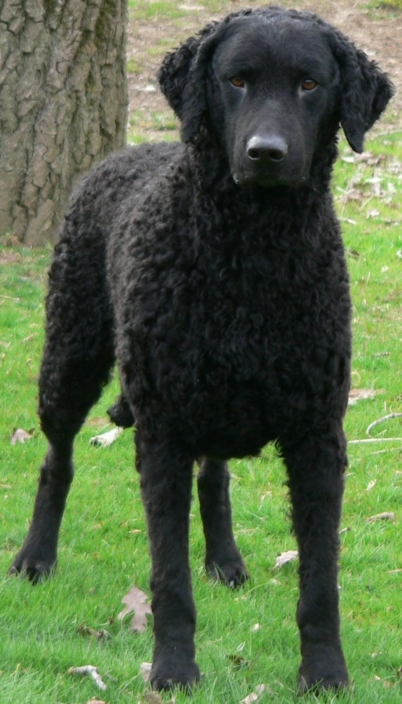 Curly Coated Retriever Dog: Curly Breed