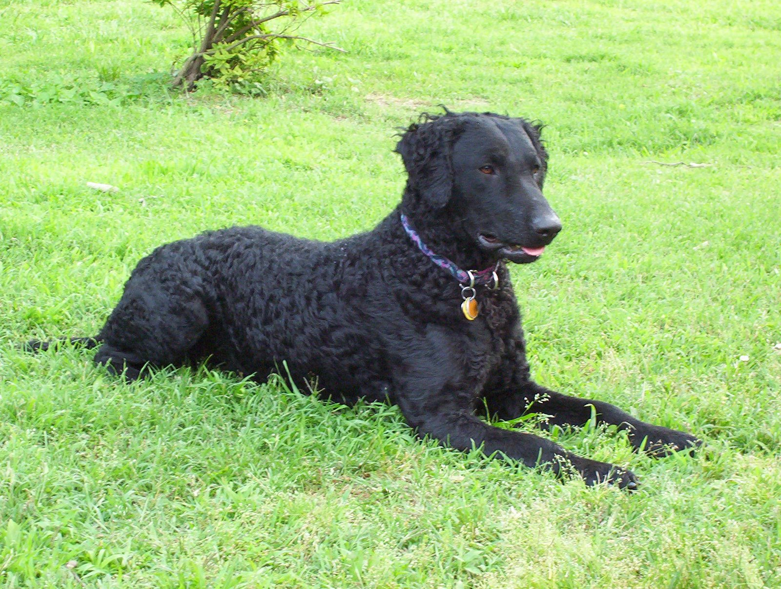Curly Coated Retriever Puppies: Curly Curly Coated Retriever On The Grass Breed