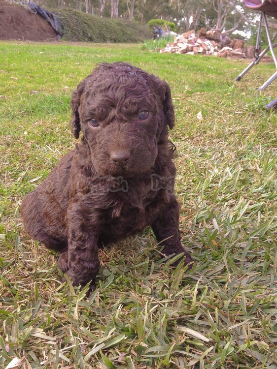 Curly Coated Retriever Puppies: Curly Curly Coated Retriever Puppies Breed