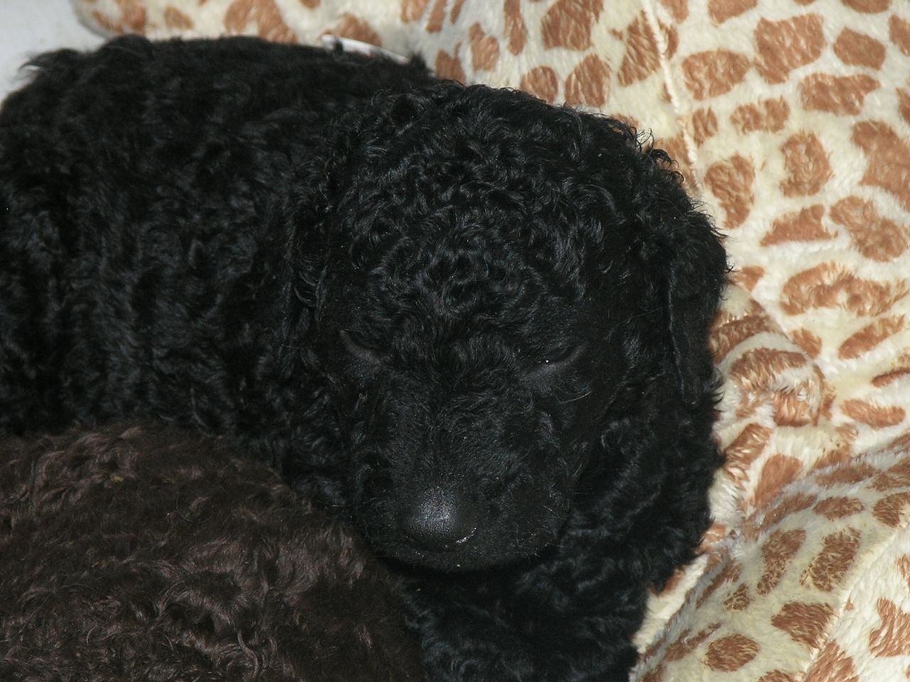Curly Coated Retriever Puppies: Curly Curly Coated Retriever Puppies For Sale Derby Breed