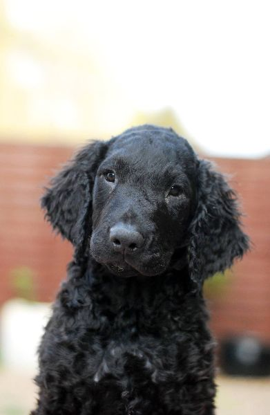 Curly Coated Retriever Puppies: Curly Curly Coated Retrievers Puppies Ready Now Breed