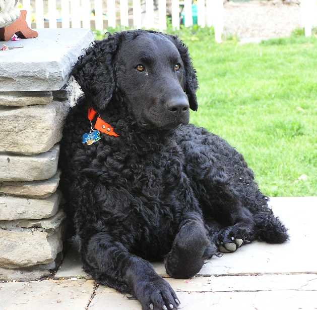 Curly Coated Retriever Dog: Curly Curlycoatedretriever Breed