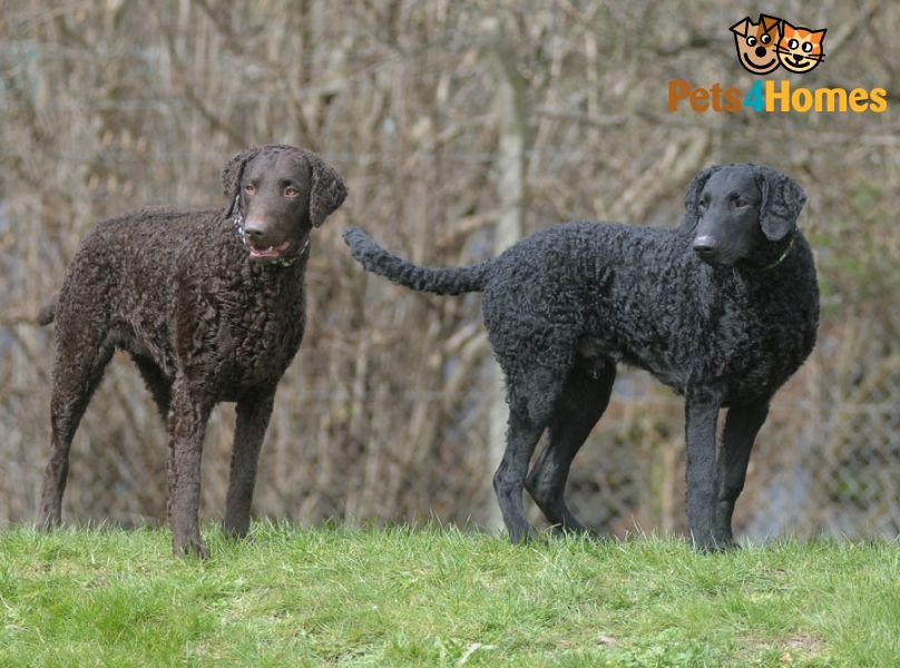 Curly Coated Retriever Dog: Curly Home Breed