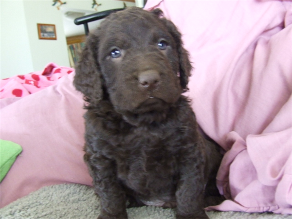 Curly Coated Retriever Puppies: Curly Murray River Curly Coated Retriever Puppies P Breed