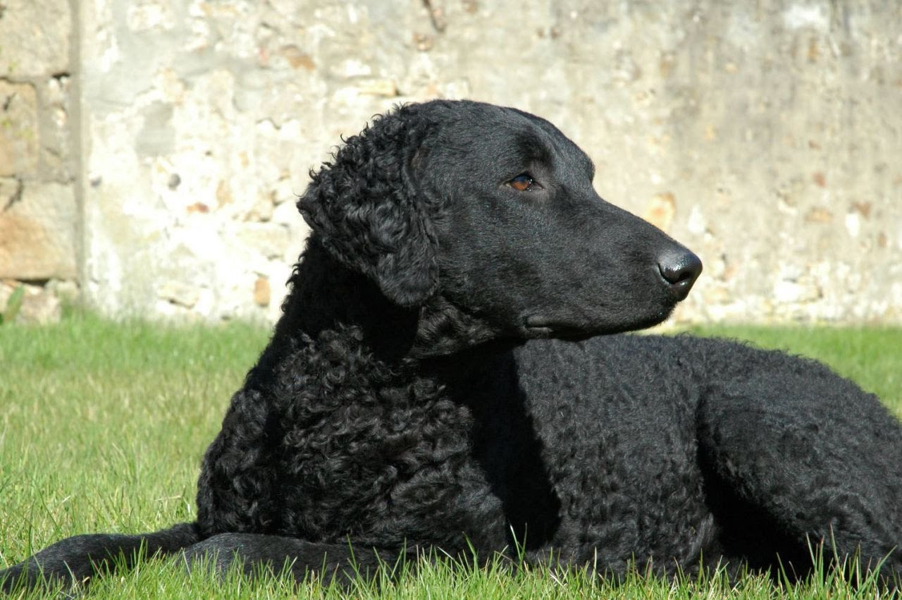 Curly Coated Retriever Dog: Curly Watch Breed