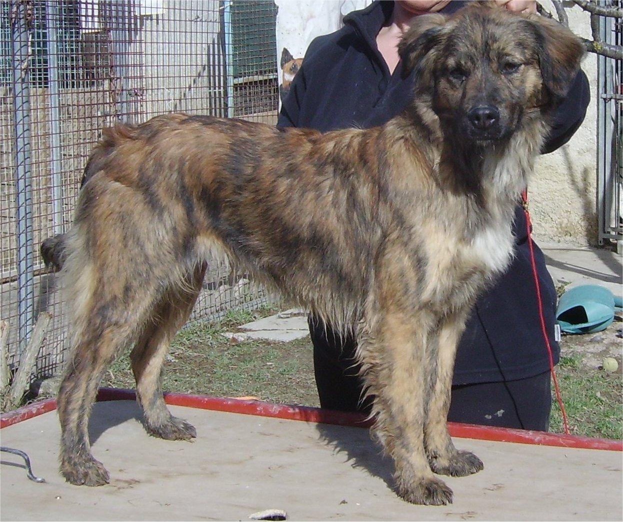 Cursinu Dog: Cursinu Breed