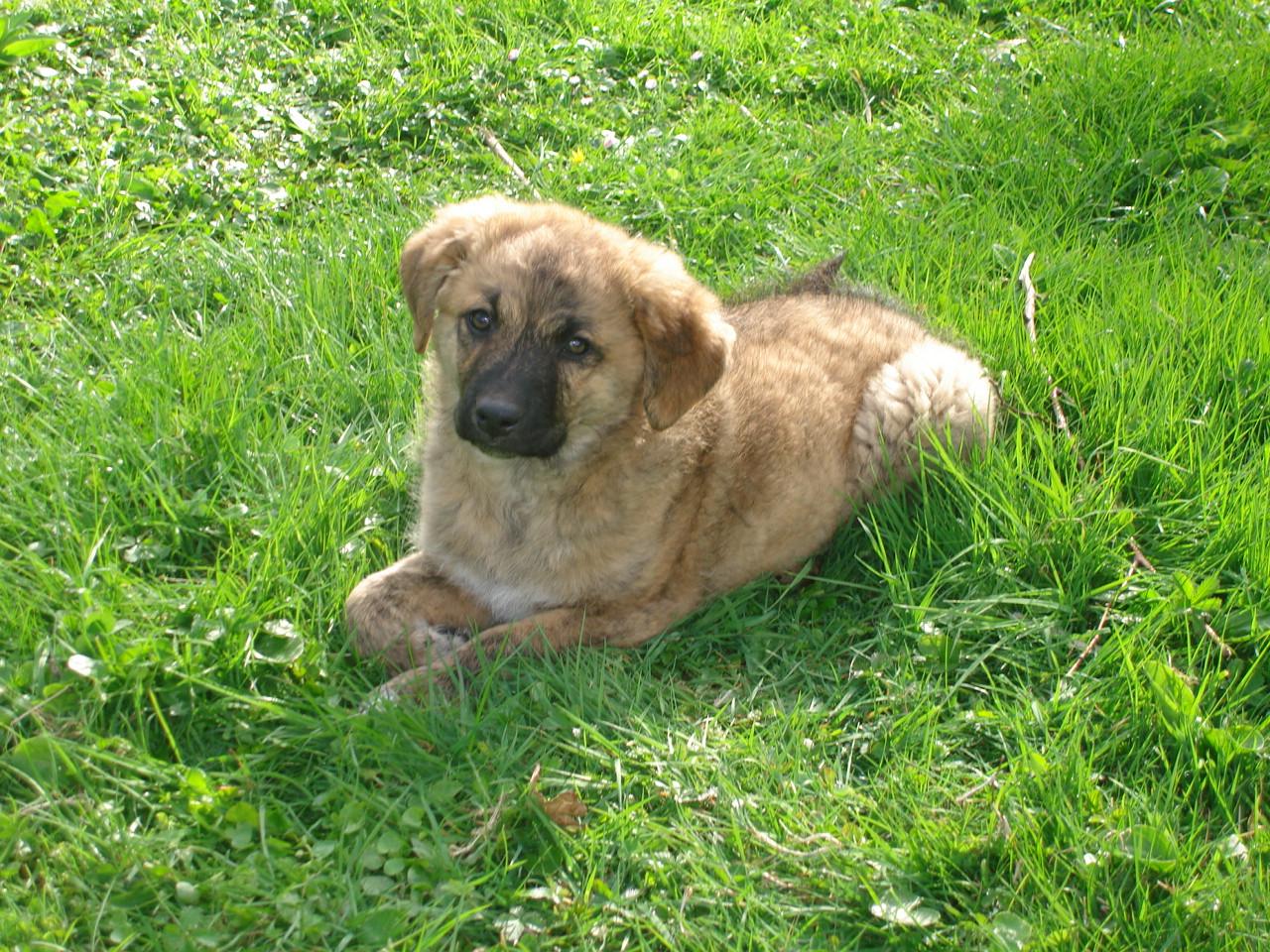 Cursinu Dog: Cursinu Cursinu Puppy Breed