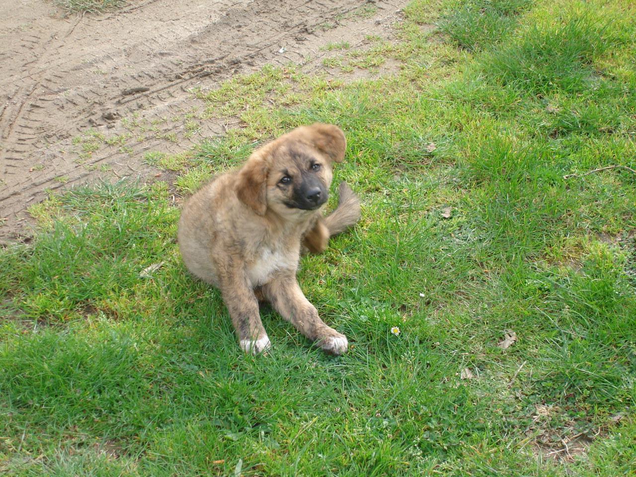 Cursinu Dog: Cursinu Lovely Cursinu Breed