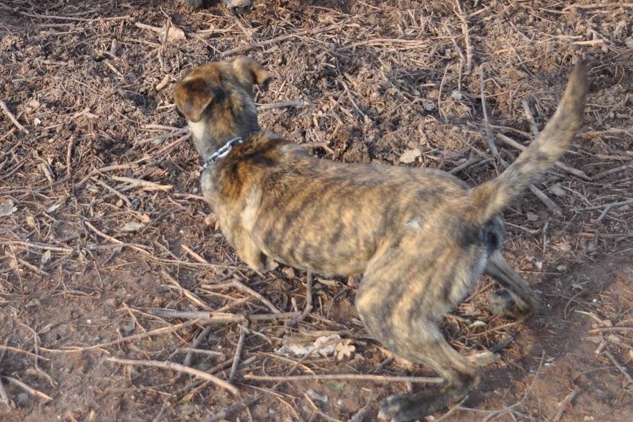 Cursinu Dog: Cursinu Walking Cursinu Breed