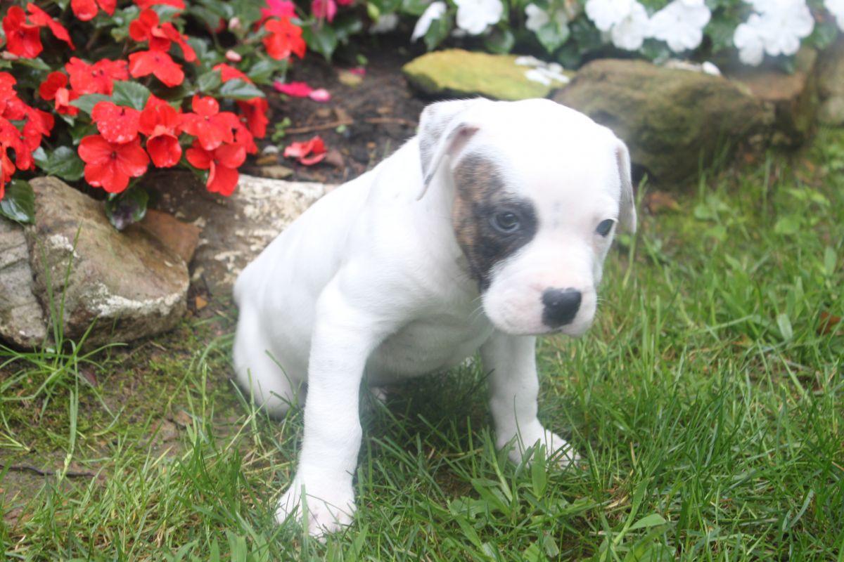 Cute American Bulldog Puppies: Cute Adoodca Breed