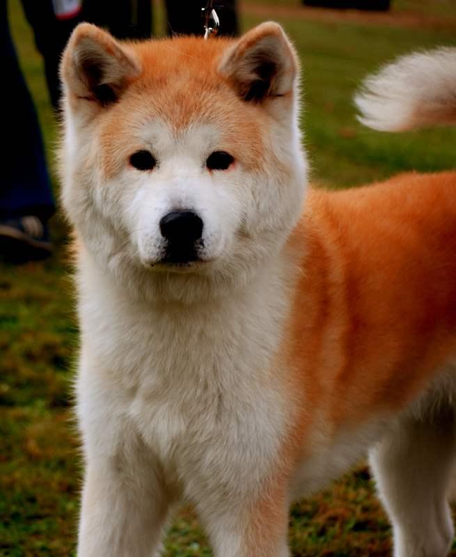 Cute Akita Inu Puppies: Cute Adorable Orange Akita Inu Dog Puppies Breed