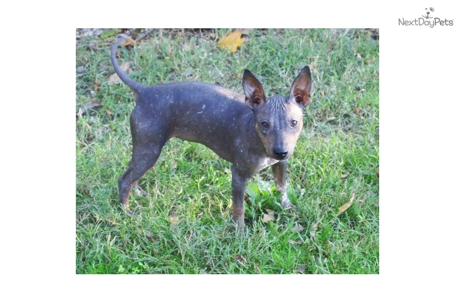 Cute American Hairless Terrier Puppies: Cute Aef Breed