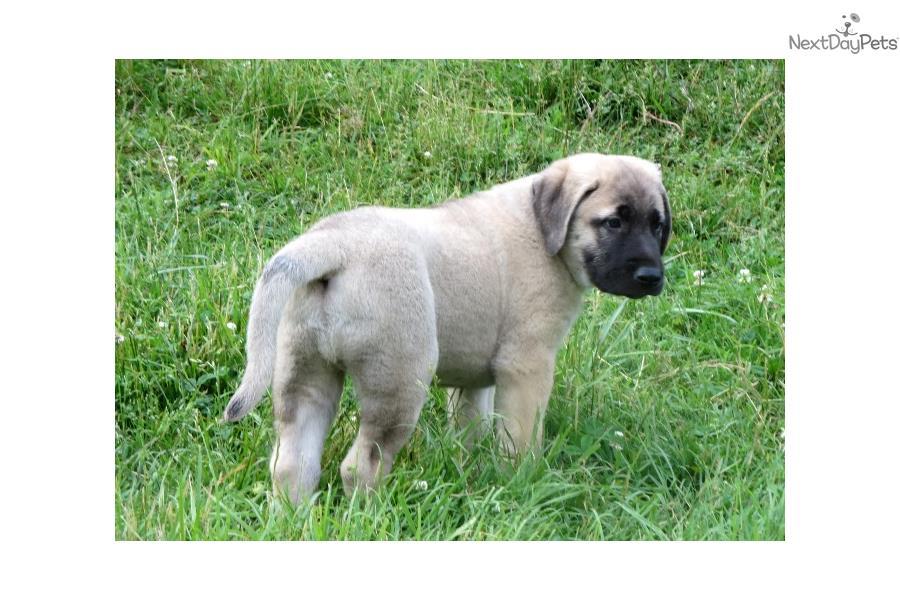 Cute Anatolian Shepherd Puppies: Cute Aef Ead Breed