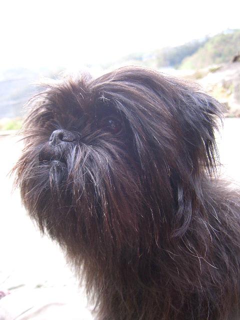 Cute Affenpinscher Puppies: Cute Affenpinscher Animals Puppy Funny Cute Dog Breed