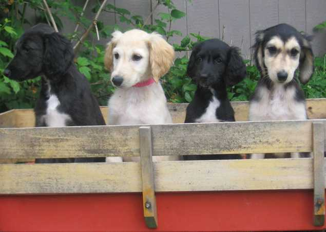 Cute Afghan Hound Puppies: Cute Afghan Hound Information And S Breed