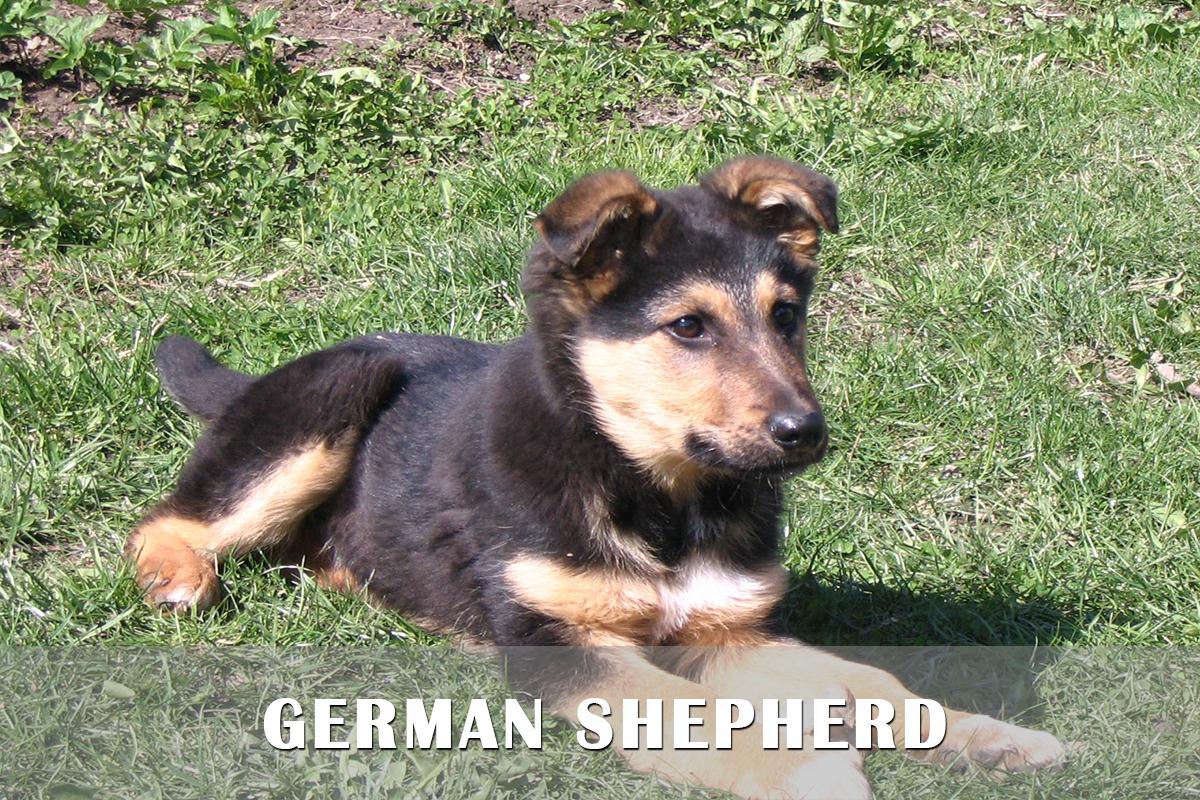 Cute Afghan Shepherd Puppies: Cute Afghan Hound Kennel Breed
