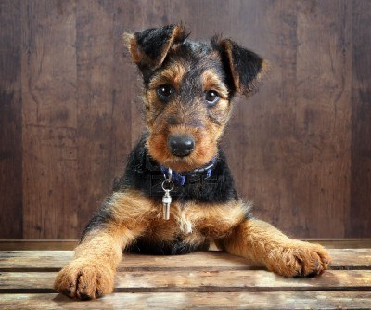 Cute Airedale Terrier Puppies: Cute Airedale Terrier Breed