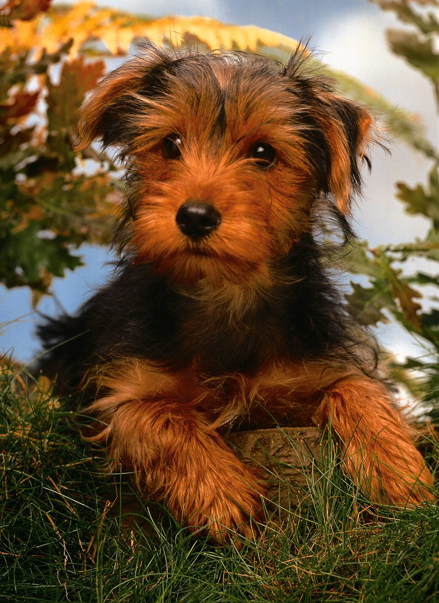 Cute Airedale Terrier Puppies: Cute Airedale Terrier Dog Breed