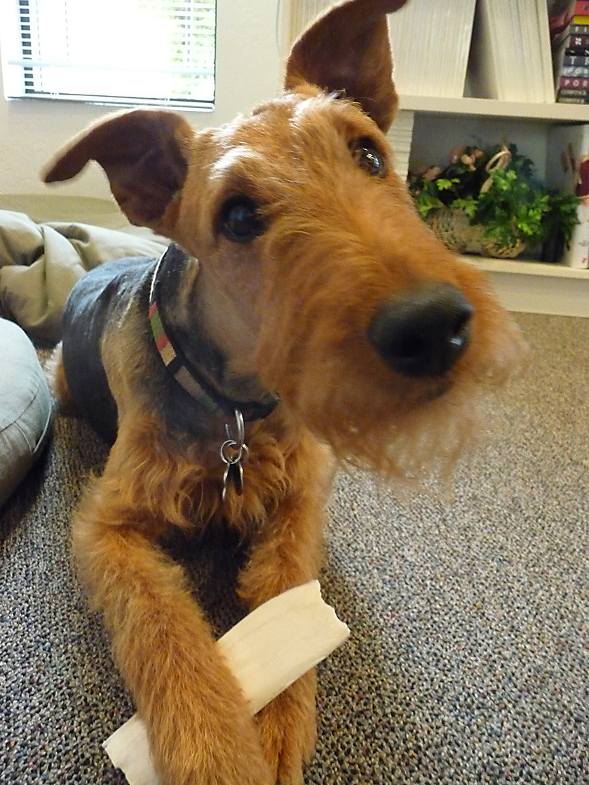 Cute Airedale Terrier Puppies: Cute Airedale Terrier Puppies Picture Breed