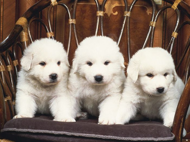 Cute Akbash Puppies: Cute Akbash Dog Breed