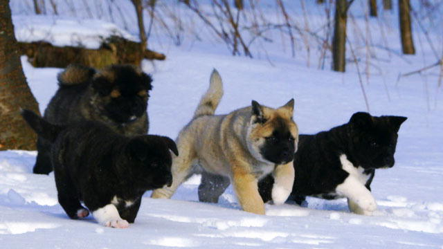 Cute American Akita Puppies: Cute Akita Puppy Playtime In The Snow Breed