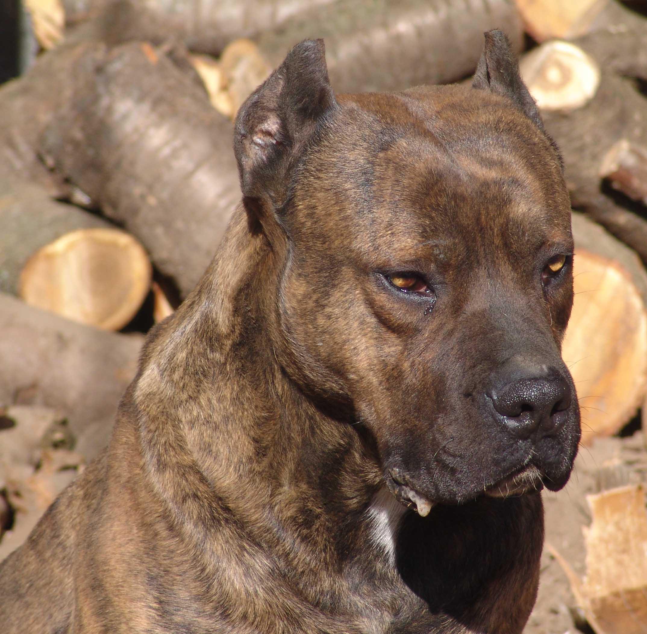 Cute Alano Español Puppies: Cute Alano Espacbol And Firewood Breed