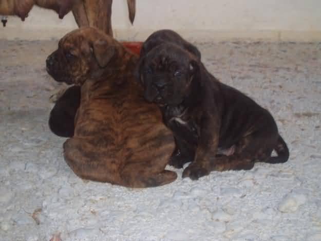 Cute Alano Español Puppies: Cute Alano Espanol Puppies Breed