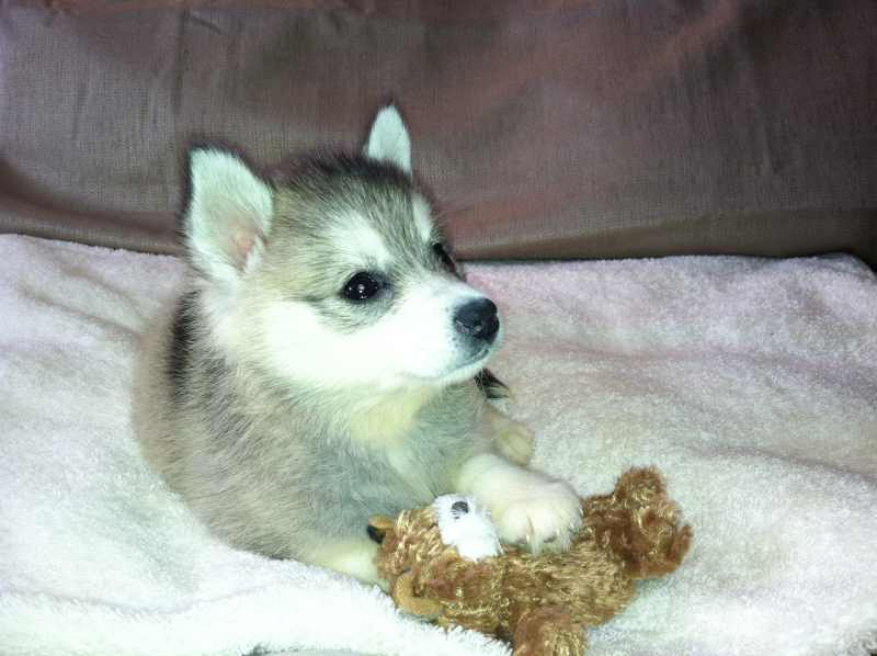 Cute Alaskan Klee Kai Puppies: Cute Alaskan Klee Kai Super Cute Mini Husky Breed