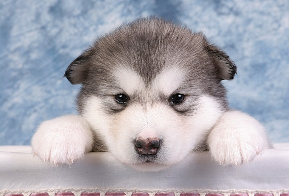 Cute Alaskan Malamute Puppies: Cute Alaskan Malamute Cute Puppies Breed