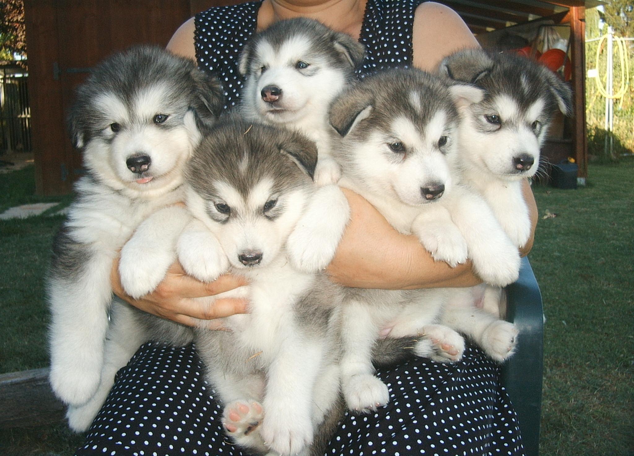 Cute Alaskan Malamute Puppies: Cute Alaskanmalamutescuccioli Breed