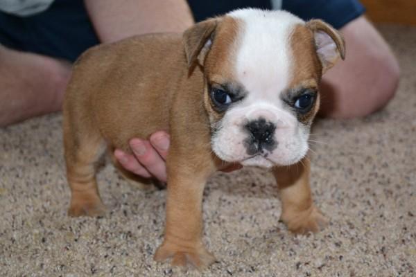 Cute American Bulldog Puppies: Cute American Bulldog Breed