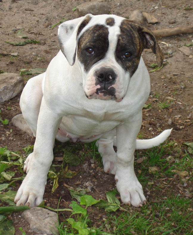 Cute American Bulldog Puppies: Cute American Bulldog Puppies Pictures Breed