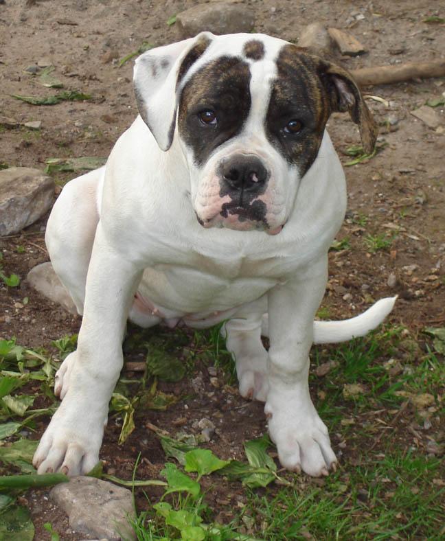 Cute American Bulldog Puppies: Cute American Bulldog Puppies Pictures Breed