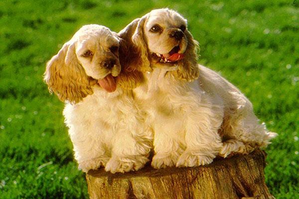 Cute American Cocker Spaniel Puppies: Cute American Cocker Spaniel Breed