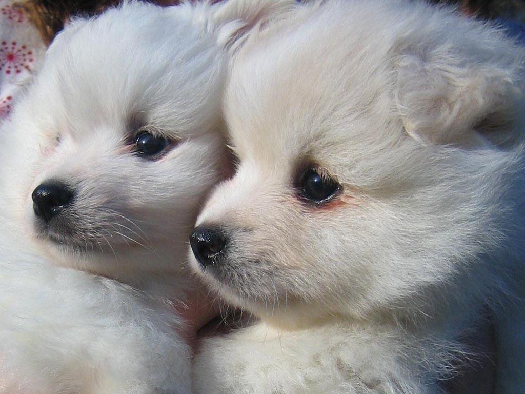 Cute American Eskimo Puppies: Cute American Eskimo Dog Puppies Faces Breed