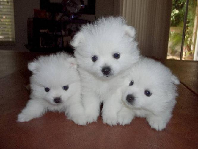 Cute American Eskimo Puppies: Cute American Eskimo Puppy Pictures Breed