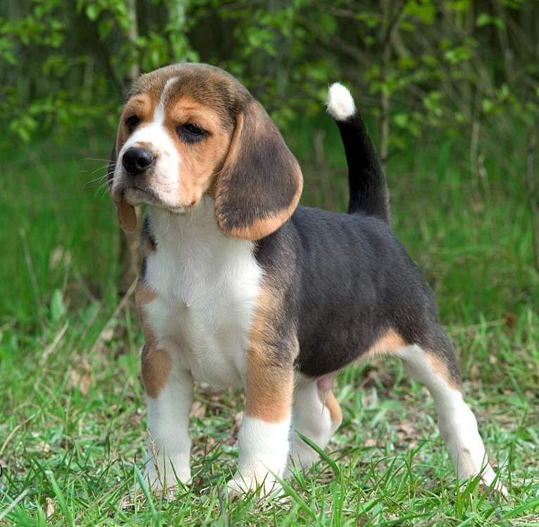 Cute American Foxhound Puppies: Cute American Foxhound Puppy Standing On Grass Puppies Breed