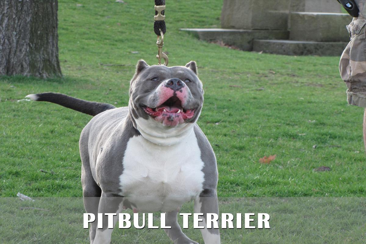 Cute American Pit Bull Terrier Puppies: Cute American Pit Bull Terrier Puppies For Sale Pa Md Ny Nj Dc Breed