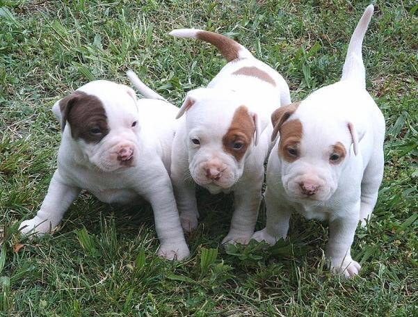 Cute American Pit Bull Terrier Puppies: Cute American Pitbull Cute Puppies S Breed
