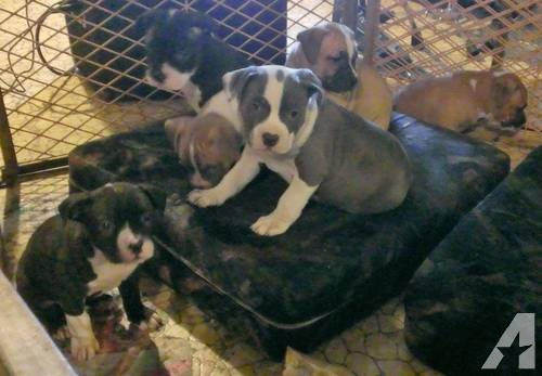 Cute American Staffordshire Terrier Puppies: Cute American Staffordshire Terrier Puppies Pit Bull Super Cute Sweet Too Breed