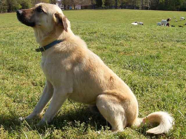 Cute Anatolian Shepherd Puppies: Cute Anatolian Shepherd Dog Breed