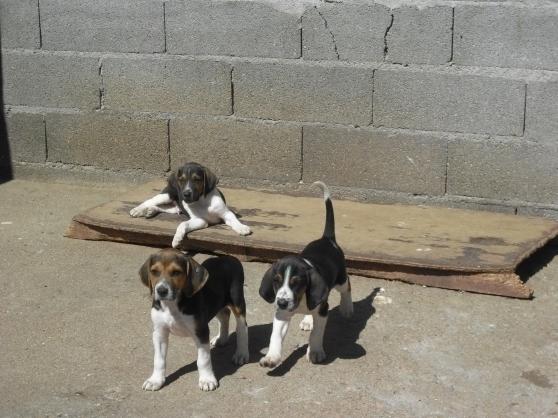 Cute Anglo-Français de Petite Vénerie Puppies: Cute Anglofranais De Petite Vnerie S Breed