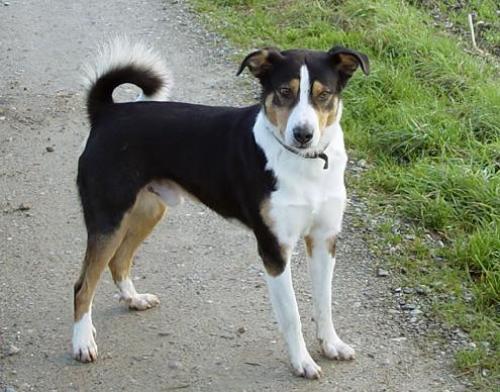 Cute Appenzeller Sennenhund Puppies: Cute Appenzeller Sennenhund Puppies For Sale Breed