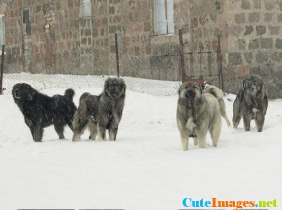 Cute Armenian Gampr Puppies: Cute Armenian Gampr Dog Puppies Zyyhu Breed