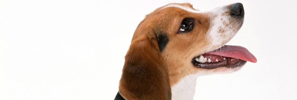 Cute Artois Hound Puppies: Cute Artois Hound Breed