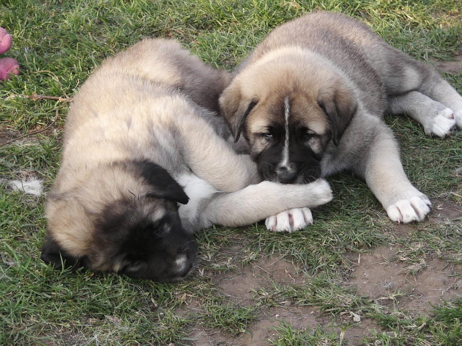 Cute Anatolian Shepherd Puppies: Cute Asalet Anatolian Shepherd Dogs S Breed
