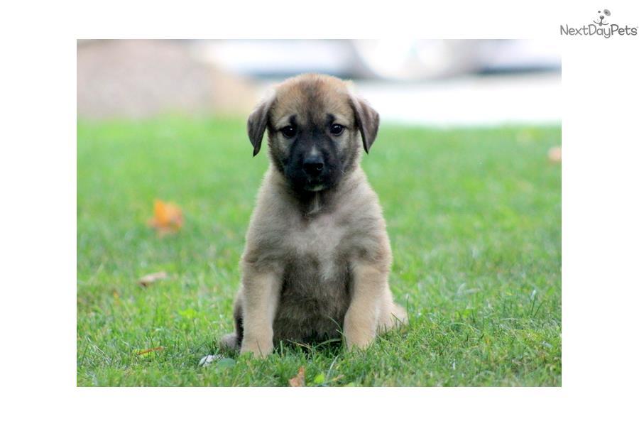 Cute Anatolian Shepherd Puppies: Cute B Breed