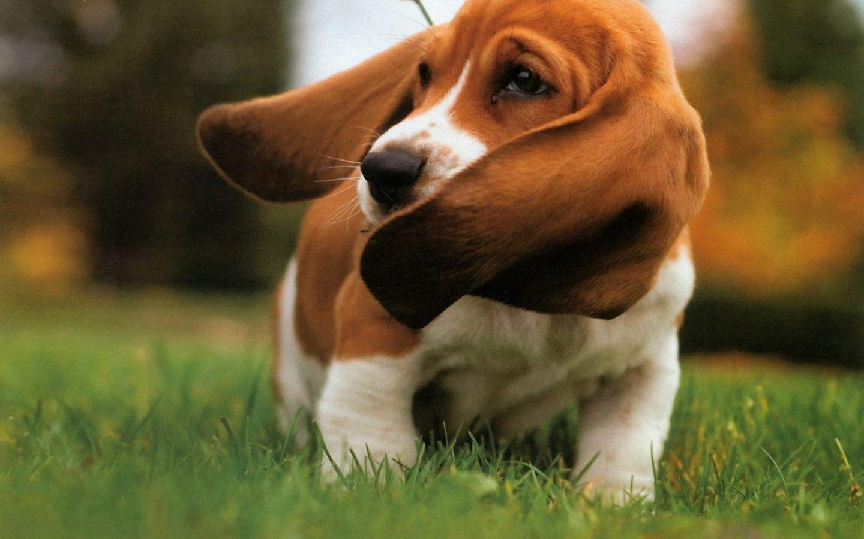 Cute Artois Hound Puppies: Cute Basset Hound Lovely X Breed